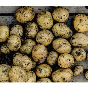 Kartofler Nye Danske M/jord