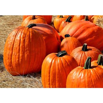 Græskar Halloween +7 Kg