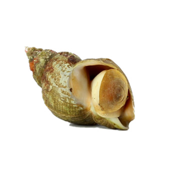 Havsnegle Buccinum Undalum