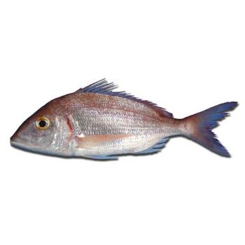 Blankensten Rød Pagellus Erythrinus