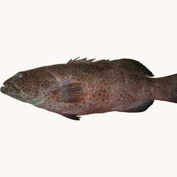 Leopard Fisk